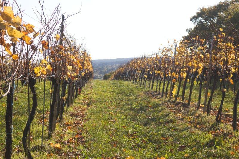 une vigne sur un champ en automne photographie stock