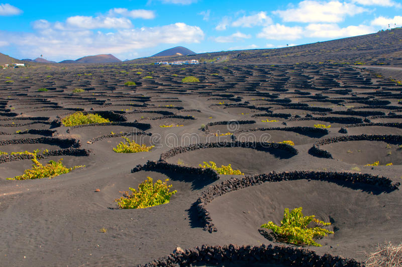 Une vigne typique en île de Lanzarote photos stock