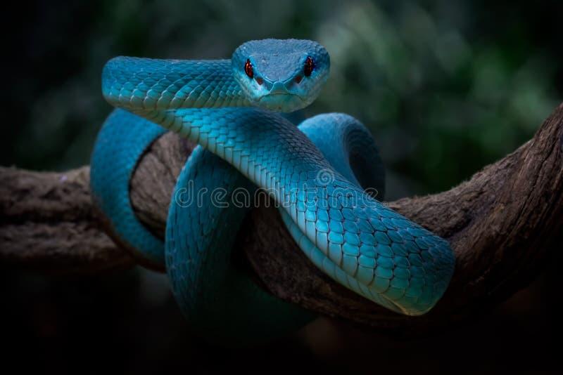 Une vipère bleue aux yeux rouges observant les environs pour chercher la proie images stock