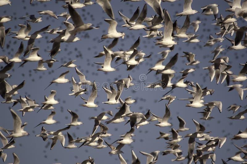 Une volée des mouettes à tête noire, Chroicocephalus Ridibundus - oiseaux en vol images stock