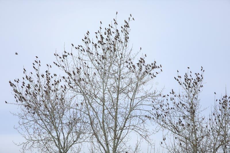 Une volée des oiseaux de jaseurs sur un arbre photographie stock
