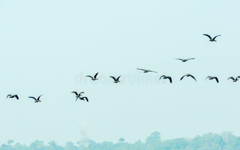 Une vol?e des oiseaux de vol retournant aux frais g?n?raux de vol de maison tout en ?migrant ? leurs endroits de reproduction au  photographie stock