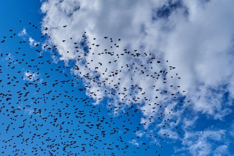 Une volée des oiseaux noirs volant dans le ciel bleu photographie stock