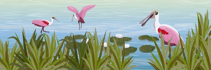 Une volée des oiseaux roses de spatule rose dans l'eau Étang avec les nénuphars et l'herbe blancs illustration stock