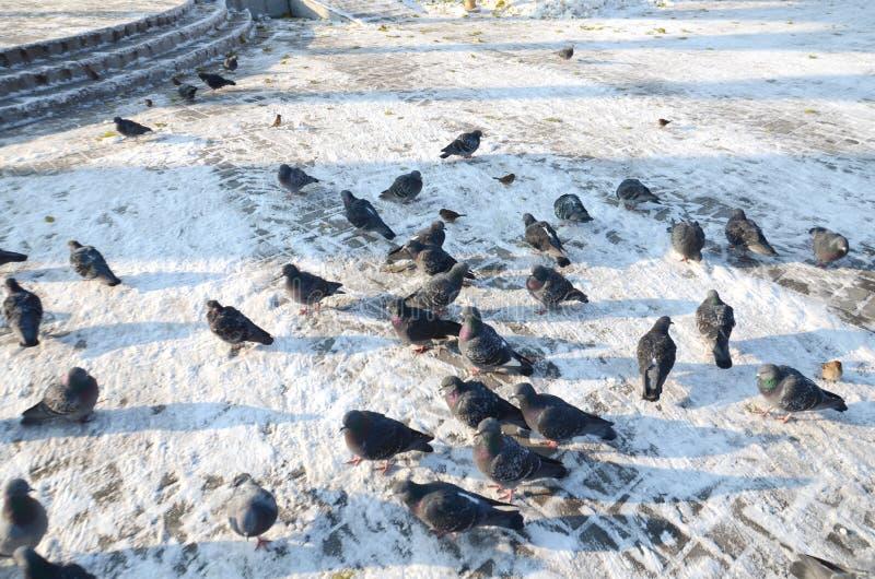 Une volée des pigeons et des moineaux congelés par oiseaux sur le trottoir dans la neige avec photo libre de droits