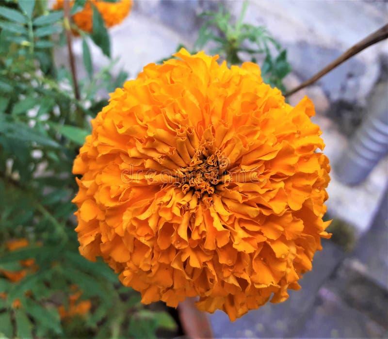 Une vue étroite de belle fleur orange de souci image libre de droits