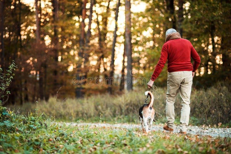 Une vue arrière d'homme supérieur marchant avec un chien dans une nature d'automne au coucher du soleil photographie stock
