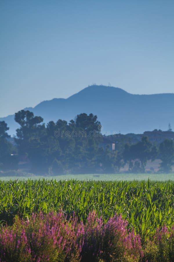 Une vue d'un champ agricole avec quelques belles fleurs pourpres devant un bâti près de Rome photos libres de droits