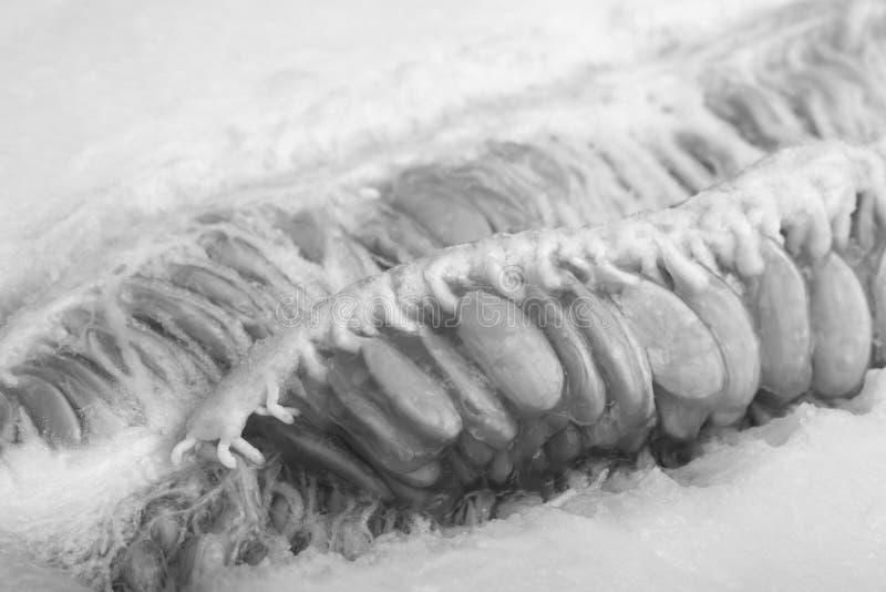 Une vue d'un melon mûr avec des graines a coupé en demi plan rapproché Image noire et blanche image stock