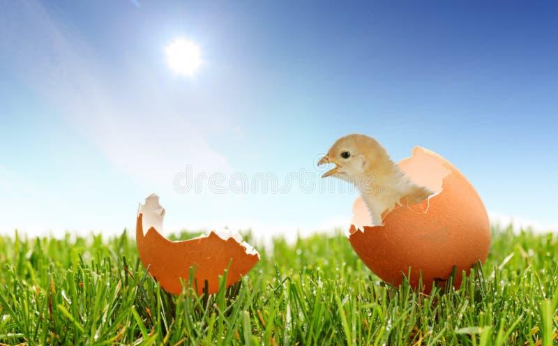 Une vue d'un poulet de chéri sur une herbe images libres de droits