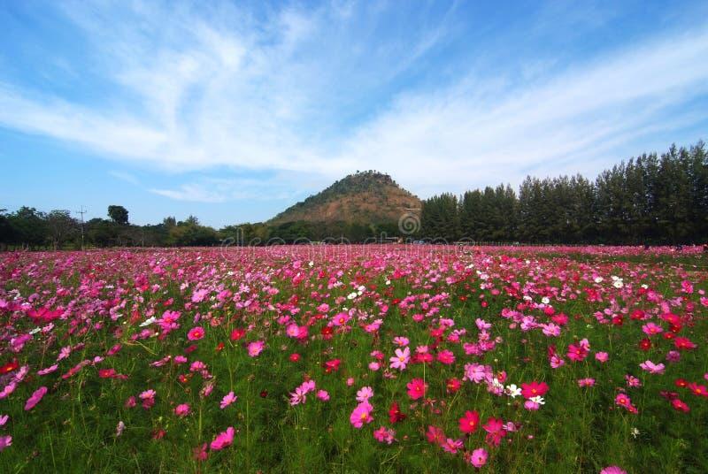 Une vue de paysage de gisement de fleur de cosmos image libre de droits