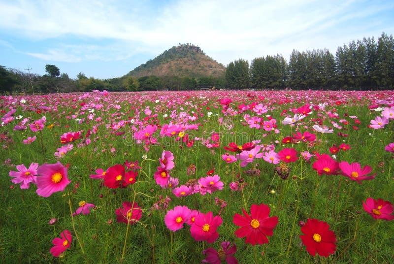 Une vue de paysage de gisement de fleur de cosmos photos libres de droits