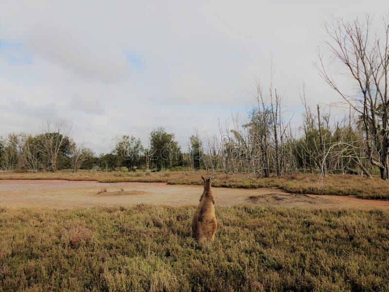 Une vue du dos du kangourou photos stock