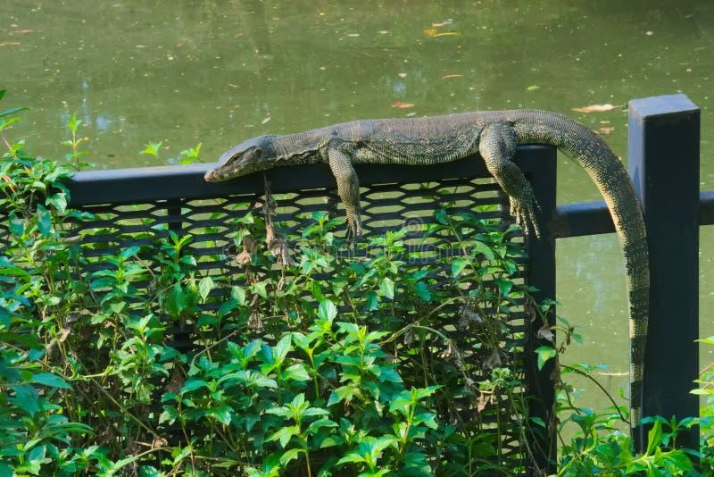 Une vue rare et peu commune d'un lézard de moniteur prenant un bain de soleil sur une barrière en acier en parc thaïlandais luxur photo libre de droits