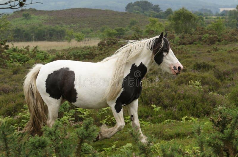 Une vue scénique d'un beau caballus de ferus d'Equus de cheval fonctionnant dans la lande où il frôle image libre de droits