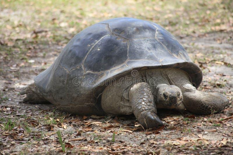 Une vue très étroite d'une tortue énorme images stock