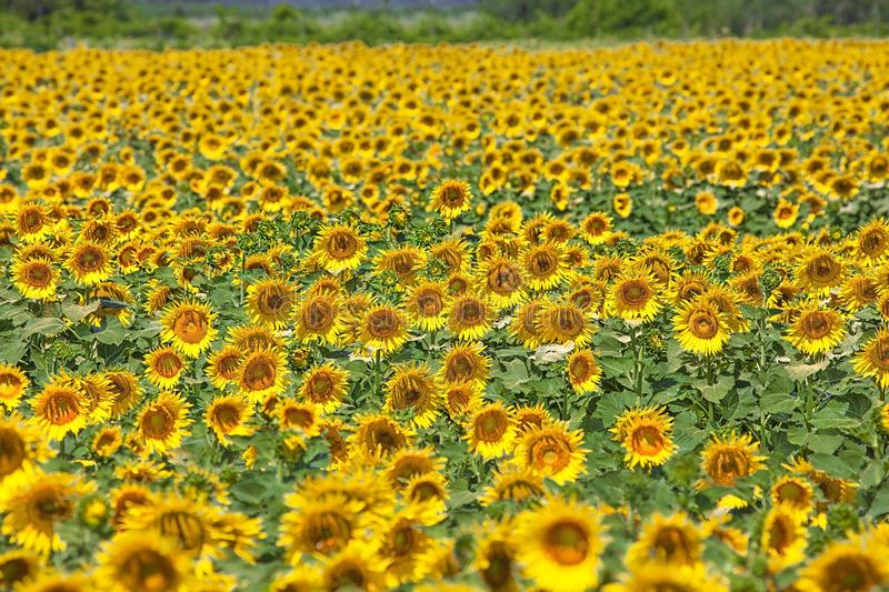 Download Une zone des tournesols photo stock. Image du orange - 56476736
