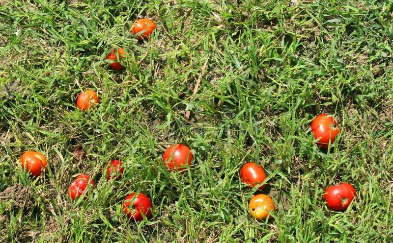 Uneatable Tomaten in der Rasenfläche lizenzfreie stockfotografie