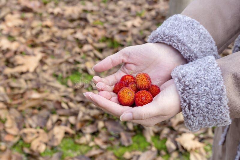 Unedo Arbutus дерева клубники ягод в конце-вверх руки стоковые изображения