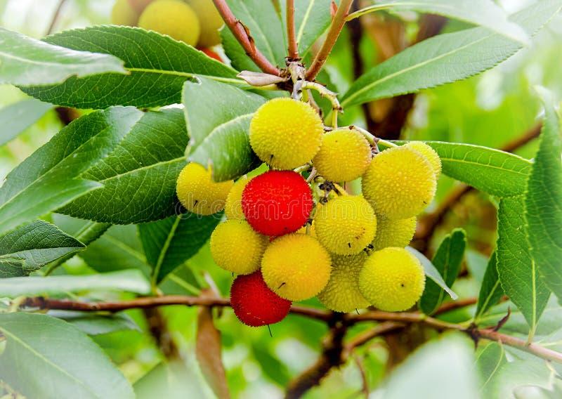 Unedo Arbutus дерева клубники стоковое изображение rf