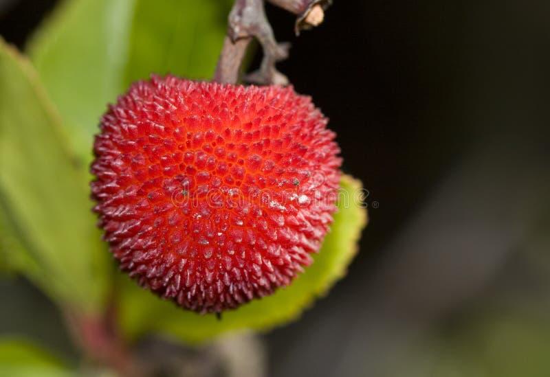 Unedo del Arbutus (árbol de fresa) foto de archivo
