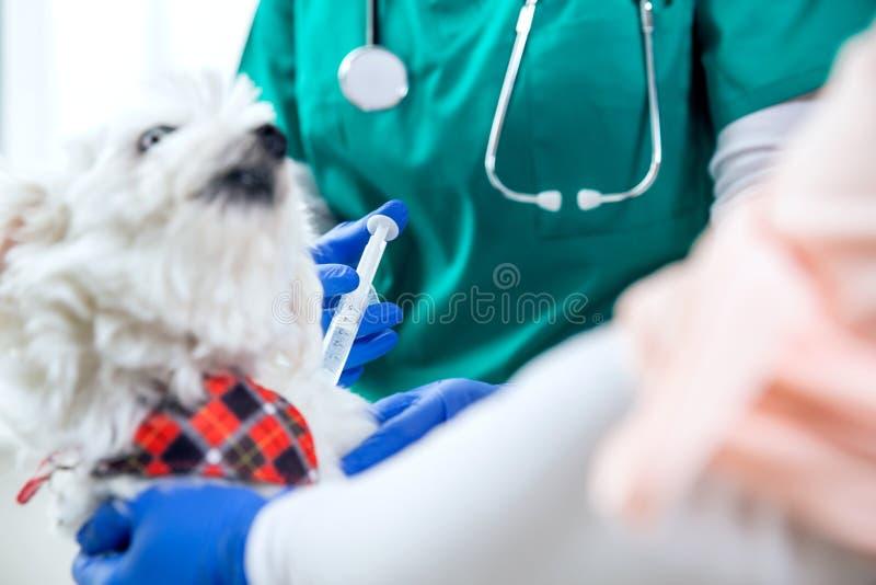 Unerkennbarer Tierarzt macht eine Einspritzung stockfotos
