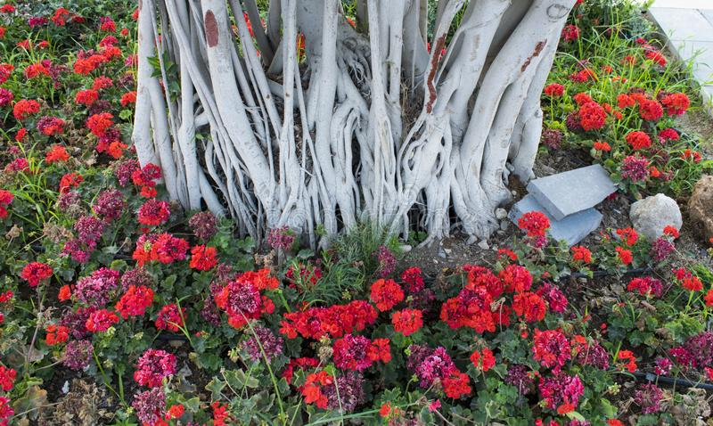 Unfinished flower bed with red Pelargonium flowers and gray bush stems. Gardening perennials, work in progress royalty free stock image