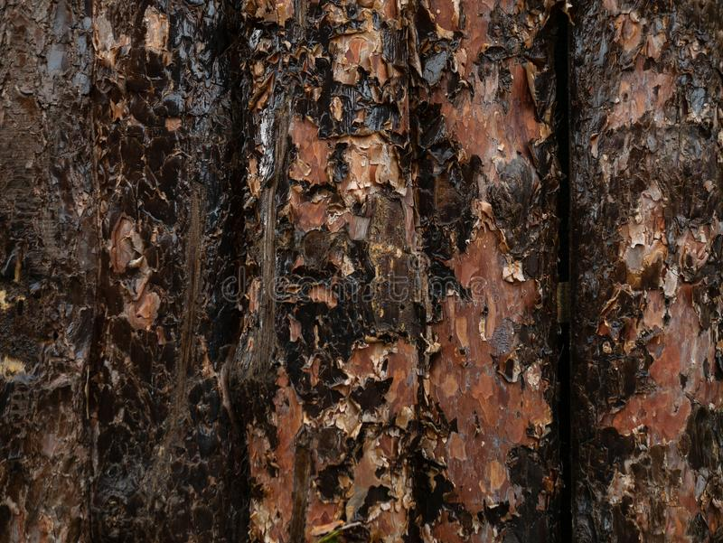 Unfinished pine board, cut, close-up, bark, knots, texture of bark wood use as natural background, old board, board with royalty free stock photography