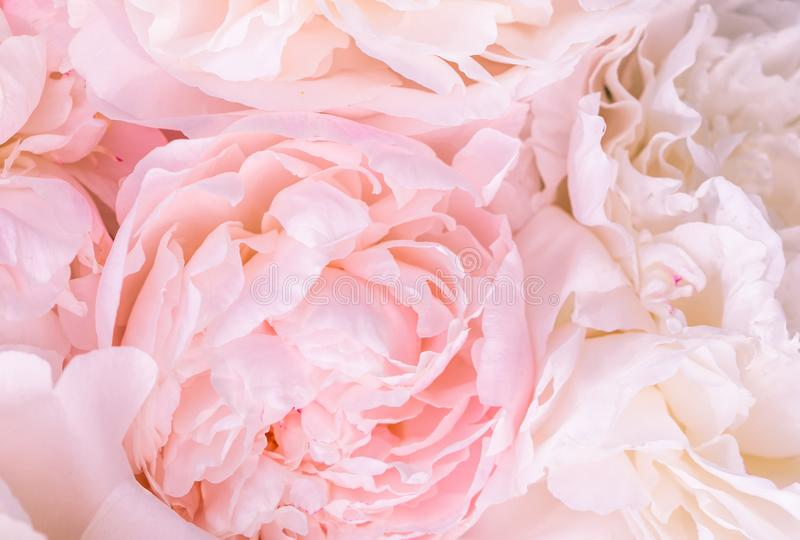 Unfocused blur rose petals, abstract romance background, pastel and soft flower card. Unfocused blur pink English rose petals, abstract romance background stock images