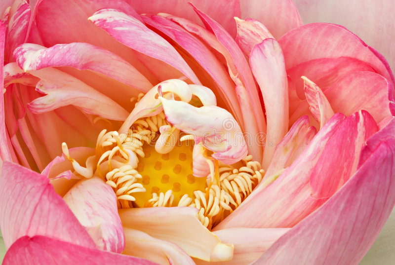 Unfolding Lotus stock photography
