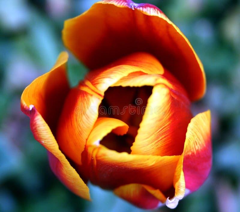 Unfolding Tulip stock photos