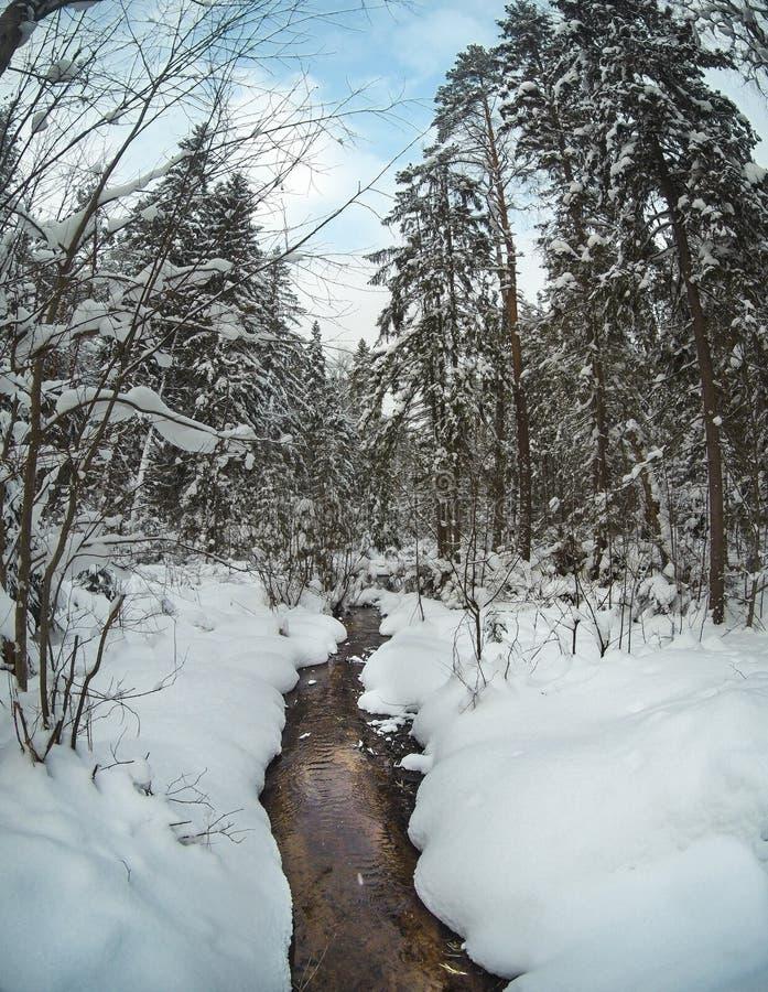 Unfrozen zatoczka w śnieżnym sosnowym lasowym zima krajobrazie obraz stock