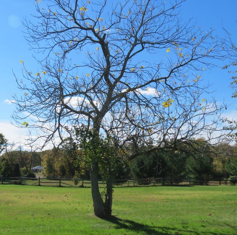 Unfruchtbarer Baum im Fall stockfoto