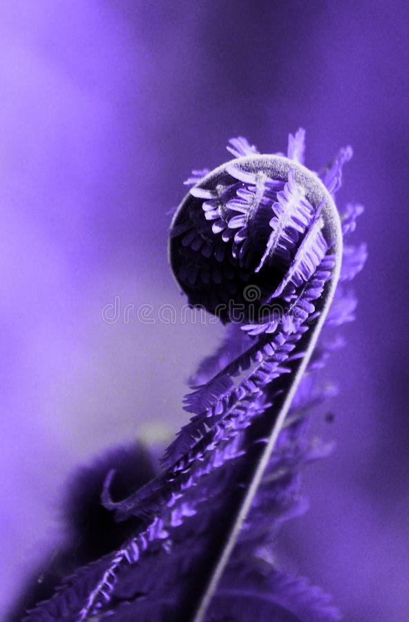 Unfurling fresco da samambaia das folhas de uma samambaia no fundo obscuro ultravioleta Conceito na moda da cor do ano Foto do ma imagem de stock royalty free