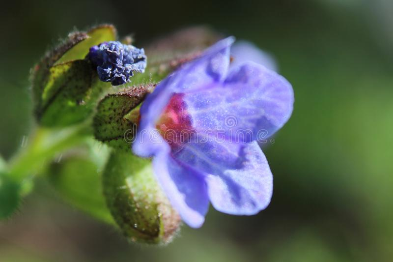 New Spring Lungwort Flowers Close up stock image