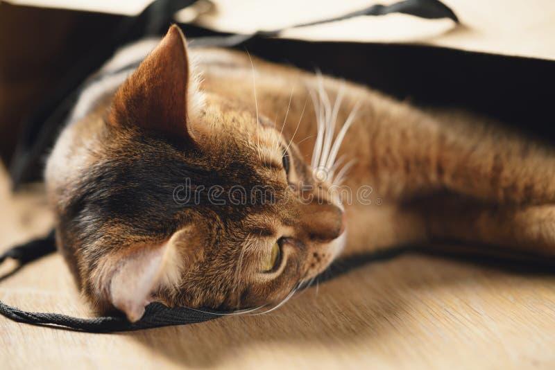 Ung abyssinian katt i påse på tabellen royaltyfria bilder