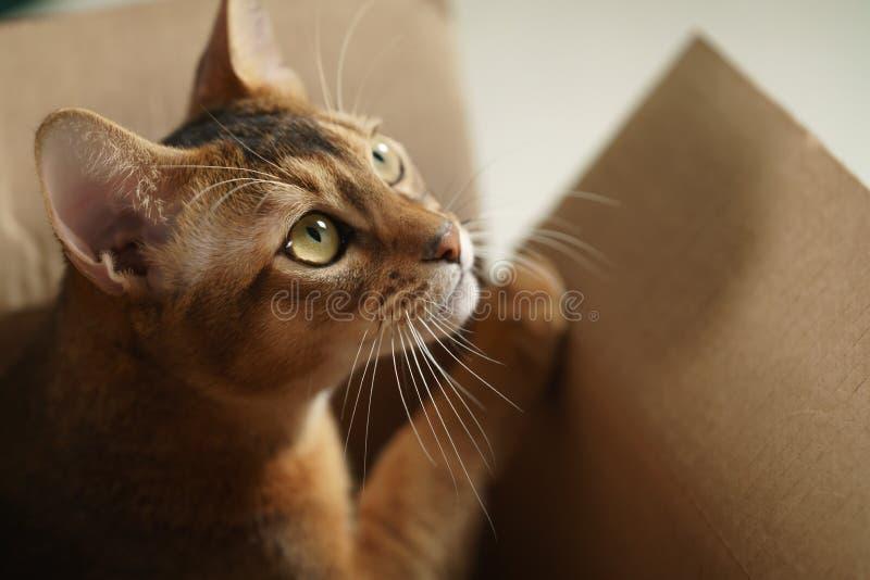 Ung abyssinian katt som ligger i kartong arkivbilder