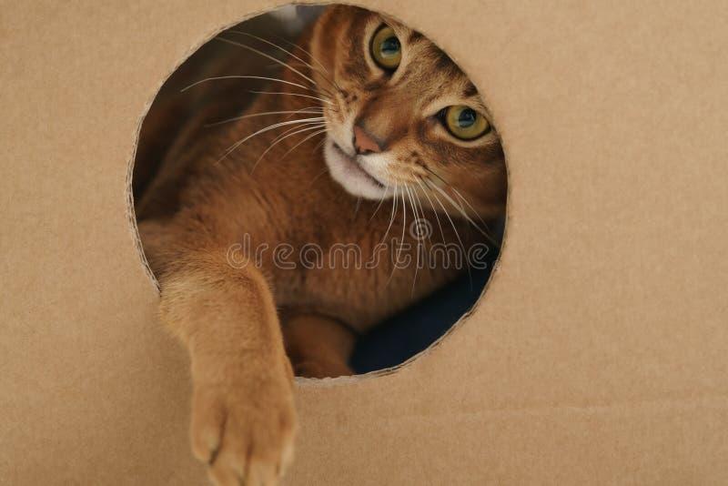 Ung abyssinian katt som spelar det inre papphuset från asken royaltyfria foton