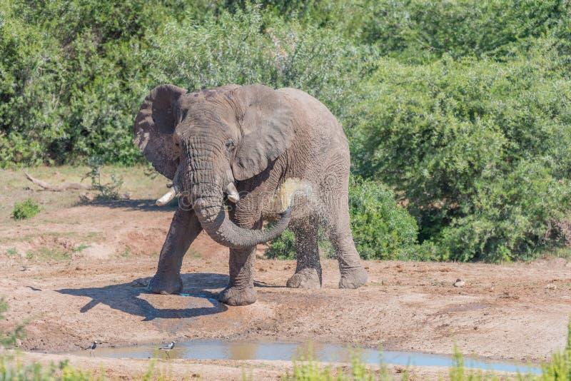 Ung afrikansk elefant som tar gyttjebadet arkivfoton