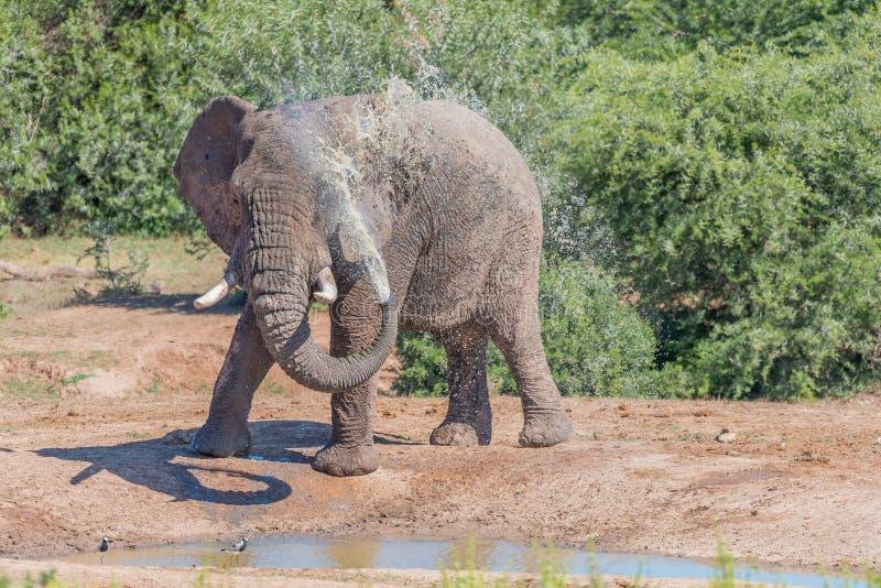 Ung afrikansk elefant som tar gyttjebadet royaltyfri fotografi