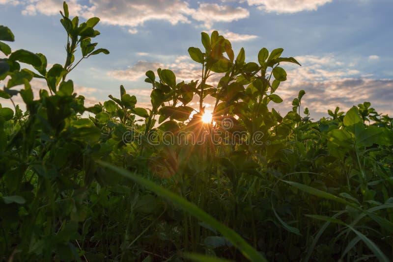 Ung alfalfa på ett fält på solnedgången arkivfoto