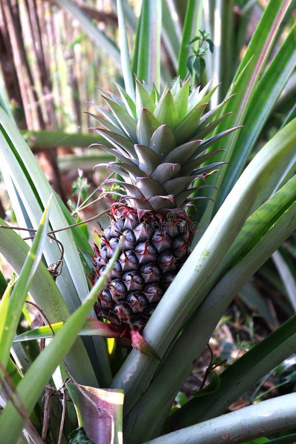 Ung ananasfors på en buske i röda och gröna sidor, ananas som växer på en buske trädgårds- tropiskt för frukt Ananas in royaltyfri fotografi