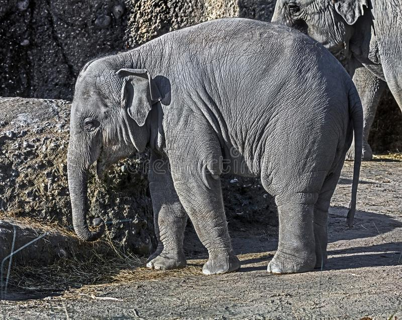 Ung asiatisk elefant 4 arkivfoto
