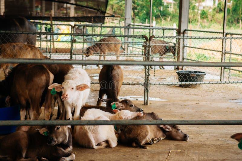 Ung asiatisk vattenbuffel i lokal mejerilantg?rd i South East Asia arkivbilder