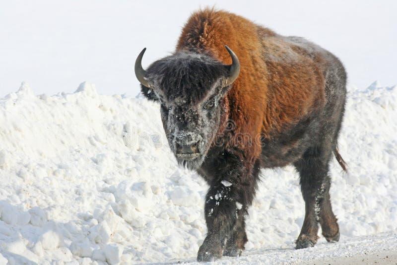 Ung bison på vägen royaltyfri bild