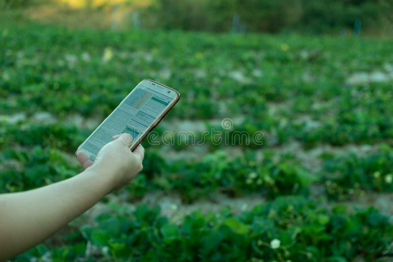 Ung bonde observera grönsaken för några diagram som sparas i mobiltelefonen, Eco organisk modern smart lantgård 4 0 teknologibegr arkivbilder
