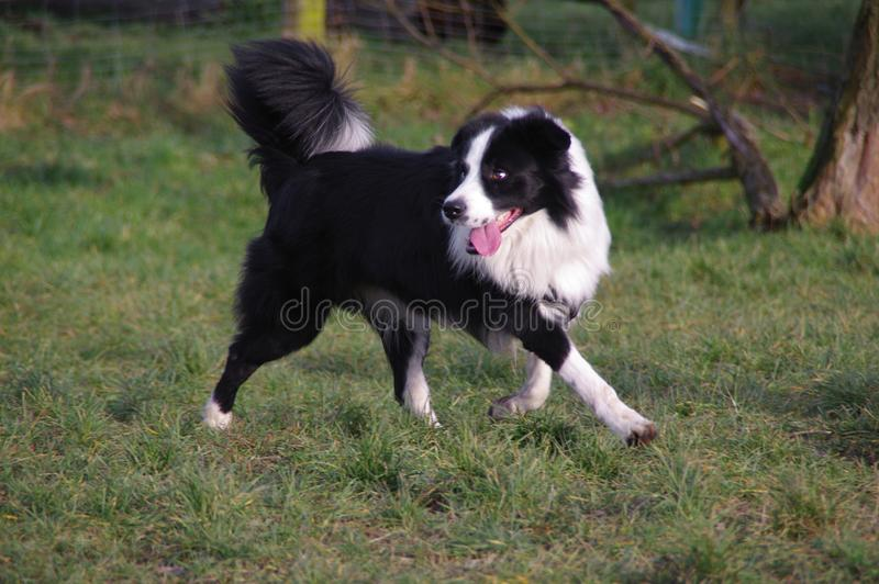 Ung border collie hund fotografering för bildbyråer