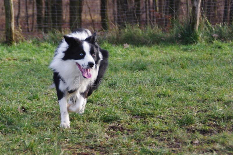 Ung border collie hund arkivfoto