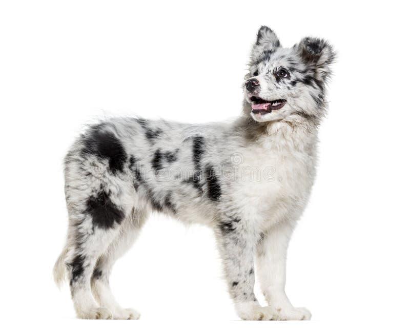 Ung Border collie hund som ser upp mot vit bakgrund fotografering för bildbyråer