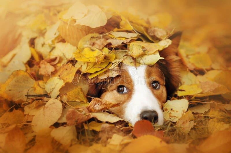 Ung border collie hund som spelar med sidor i höst arkivbilder